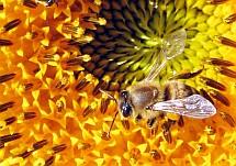 Včely si na zimu sbírají zásoby, které přetvářejí na směs glukózy a fruktózy s doplňkem mnohých vitamínů, enzymů a dalších prvků. Pokud se musí potýkat se sacharózou, štěpí ji za pomoci invertázy opět na glukózu a fruktózu a tu teprve ukládají do buněk plástve.