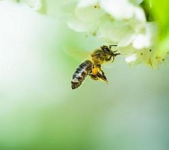 """Mezi včelaři rostou v popularitě 'invertní krmiva' a """"invertní cukry"""". Termín je nepřesný a označují se jím jak z hlediska včel naprosto nekvalitní produkty se škrobem a dalšími vyššími cukry (způsobují problém včelstvu), tak i špičková krmiva obsahující jen a pouze glukózu+fruktózu+podíl sacharózy. Včelaři musí být obezřetní a nesmí posuzovat krmiva a cukry jen podle ceny, ale musí se  poctivě podívat na složení uvažovaného krmiva a rozhodnout, zda všechny složky v krmivu obsažené opravdu patří do úlu?"""