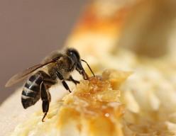 Nejdůležitějším včelím produktem není med ani mateří kašička, ale opylování rostlin. Hmyzosnubné rostliny se bez opylení hmyzem neobejdou. Aby mohly mít plody, tedy semena, dál předávat život a množit se, potřebují opylovače. Včela tak díky opylování přináší vysokou hodnotu člověku a celé přírodě.