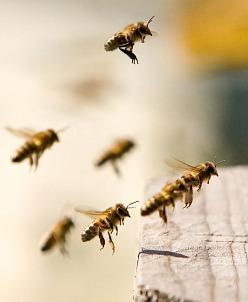 Smyslem včelaření není neutratit ani korunu, ale mít radost ze vzájemného obdarování mezi majitelem včel a včelstvem. A i včelař, který včelaří pro výdělek, ví, že kromě krásného vztahu k včelám musí do chovu včel nejprve investovat a pak teprve může očekávat přínos. Investice do správného druhu krmiva je moudré rozhodnutí.