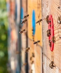 Správné krmení včel je jedou ze základních součástí včelaření. Důležitější, než výběr krmítka, je výběr správného krmiva. To totiž ovlivňuje kondici a potažmo zdraví včelstev na včelnici. Včelař má dnes možnost zakrmit svá včelstva na zimu velice kvalitními krmivy. Pokud využije české krmivo Apivital®, získá nejen výborný produkt, kterým velice snadno nakrmí, ale i ekonomicky a časově výbornou volbu. Oproti běžným invertům má totiž krmivo Apivital vysoký a správně nastavený podíl fruktózy a glukózy a neobsa
