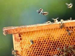 """Cukr krystal je tradičně velmi vyhledávaný některými včelaři, zvláště pokud je v akci v supermarketech, bohužel však jeho použití není pro včelu úplně nejvhodnější, protože jej musí štěpit, aby z něj připravila zimní zásoby, které bude vůbec schopna """"konzumovat"""". Pro včelu je to energetická i biologická zátěž, která se může projevit na kondici včelstva. Dříve, než byly k dispozici kvalitní sirupy pro včely, kupovali zkušení včelaři raději čistý cukr s hrubším zrnem, než extra levné cukry z výprodejů v super"""